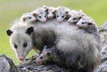 possums rule