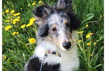 Oliver / Shetlandsheepdog Oliver, born 12/2014