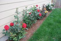 cuidar de rosas