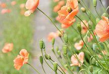 poppy, geranium garden