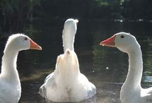 My geese / ...in the garden....