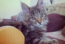 Maine Coon Black Tabby Blotched - Luna / Mother's name:  Silvardo Cats Iringo Father's name: Ramses Of Kon-Tiki