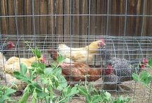 Chickens and animals