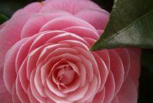 Flower Camellia japonica / 동백꽃