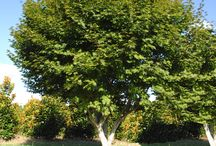 """Ornamental Trees / Our shade trees range in sizes from 6' - 12' tall and 2"""" - 5.5"""" caliper. Visit our website for more information and to view all sizes, www.huntertrees.com"""