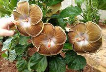 hibiscus.m
