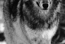 Lobo de bosque