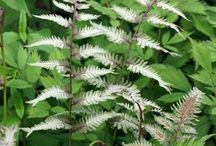 Athyrium Combinations / Plant partnerships that include lady ferns, Japanese painted ferns, and other athyriums