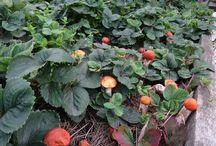 грибы на огороде