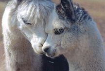 alpaca ❤