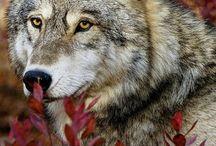 Nisäkkäät / Nisäkkäät ovat täsälämpöisiä, niillä on sisäinen hedelmöitys. Karvapeitteisiä ja usein hännällisiä