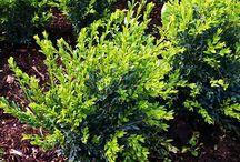 Boxwood - cultivars / Buxusgarden Slovakia
