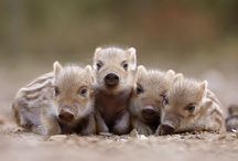 SQUEALS of Teeny Piglet Love / by Meghan Fitz