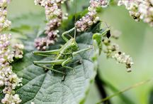 Græshopper / Danske græshopper