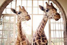 Giraffes, I LOVE