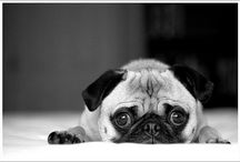 pugs / by Arabella Hunter