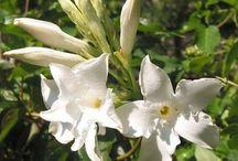 Mandevilla - Chileense jasmijn