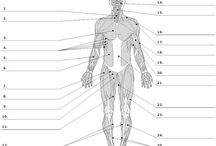 Lihakset/muscles