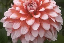 Our Dahlias