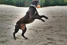 My canecorso Taz / I love the corso breed. A cane corso is the best dog breed in the world. They're loyal, gentle, protective and great looking dogs.
