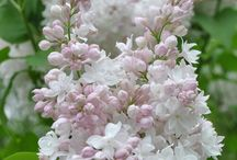 *** Lilac *** / Please follow the board and I will add you.   Lilac  #flower #flowers #shrub #lilac #great #garden #gardening #love #nature #shrub