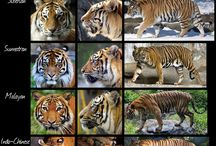 soort tijger