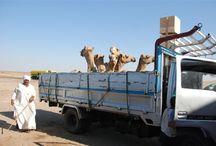 Safari to the wester desert of Egypt / My motherland my homeland