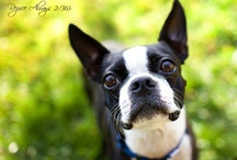 Boston Terriers / by Tracy Dodson