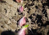 Hoe plant je knoflook