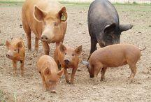 Pastured Pork Benefits