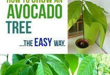G A R D E N / Aquaponics system Healthy plants Organic gardening Indoor herb garden ideas Avocado tree Pinterest account