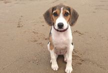 Beagle Puppy!