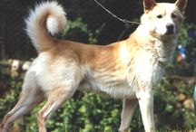 "Canaan Dog ( Israel) / <meta name=""pinterest"" content=""nopin"" />"