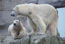 Eisbärbaby Lale / Lale war nach 1974 das erste Eisbärenbaby im Zoo am Meer. Mama Valeska und Lloyd sind die Eltern. Nach der Paarung zwischen März und Juni kam am 16. Dezember 2013 Lale zur Welt. Die Tierpfleger beobachteten über eine Kamera zwar Zwillinge in der Wurfhöhle, aber ein Jungtier war bereits tot.