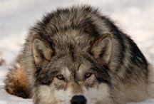 Животные  Волки