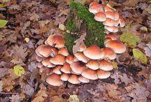 Herfst / Paddestoelen in het bos en vele bomen in herfst tooi.