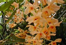 Summer Blooming Orchids