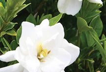 Plant Spotlight: Gardenias / Gardenias / by Southern Living Plant Collection