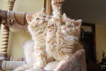 CATS SELKIRK REX