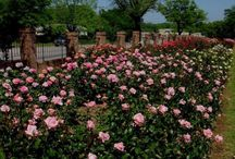 Texas Roses
