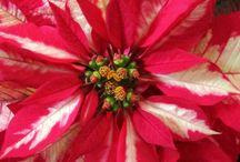 Poinsettia / Christmas beauties