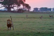 Kafue, Zambia / Read more on the region our website - http://www.zambezitraveller.com/destination/kafue/profile