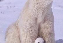 Orsi / Orso bianco