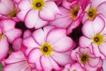PRIMULA / Colours and Varieties