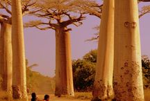 The Baobab, Madagascar / A unique tree species in Madagascar