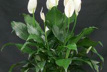 Комнатный цветок-спатифиллум