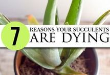 Reasons succelents are dying