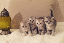 Шотландские котята / Шотландские вислоухие и прямоухие котята. Продажа 89250683164