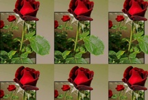 Roses are beauty