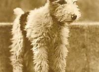 breed love ♥ wire fox terrier
